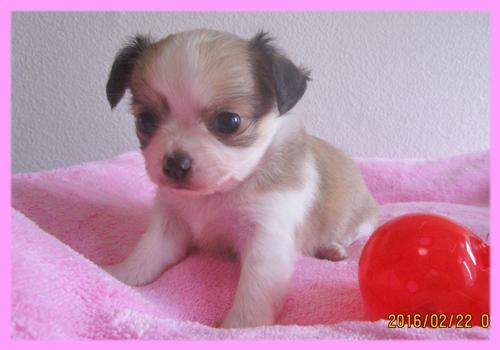 チワワ フォーン&ホワイト メス 子犬販売の専門店 AngelWan 横浜