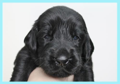 フラットコーテッドレトリバー ブラック オス 子犬販売の専門店 AngelWan 横浜