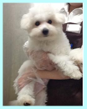 ビションフリーゼ ホワイト 子犬販売の専門店 AngelWan 横浜