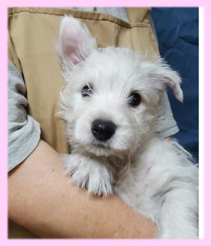 ウエスティー ホワイト メス 子犬販売の専門店 AngelWan 横浜