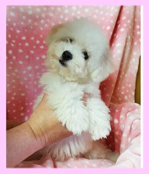 ビションフリーゼ ホワイト メス 子犬販売の専門店 AngelWan 横浜