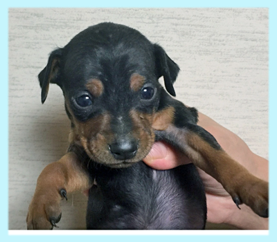 ミニチュアピンシャー ブラックタン オス 子犬販売の専門店