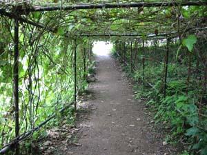 葛のトンネル