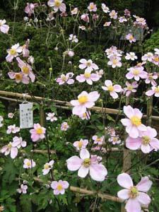 法善寺の秋明菊