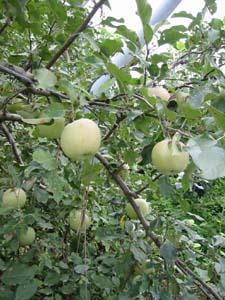 長瀞駅近くのリンゴ