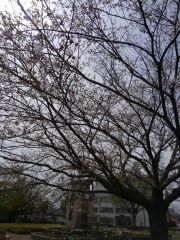 160406_桜