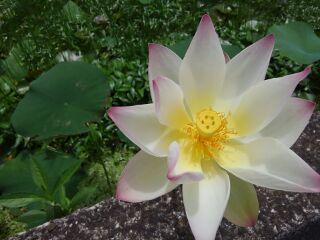 170702_蓮の花