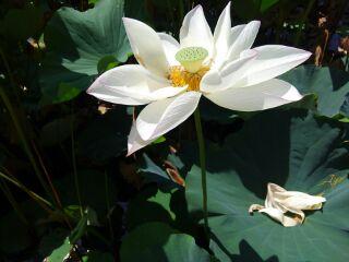 170826_蓮の花