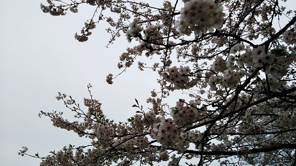 200331桜