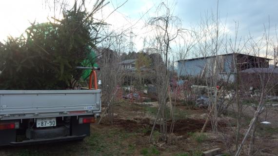 植木畑で木を掘る モミノキ