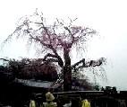 円山公園枝垂れ桜の今の姿