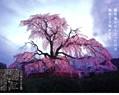 円山公園枝垂れ桜