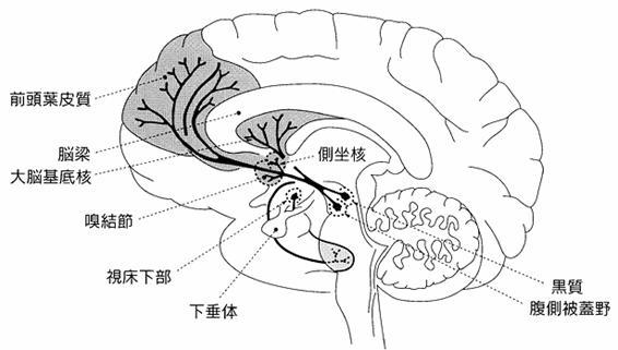 ドパミン神経