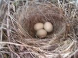 セキレイの卵が1つ増えた!