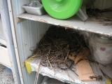 これですよこれ!セキレイの巣!