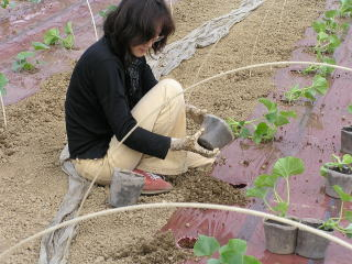 メロン植え2