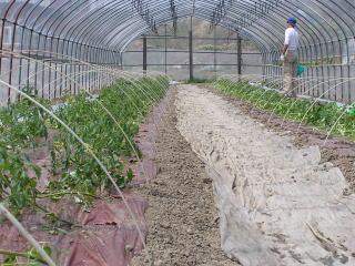 トマト植え