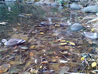 20071225三四郎池の鴨1