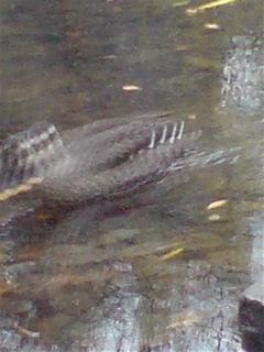 20071225三四郎池の鴨3
