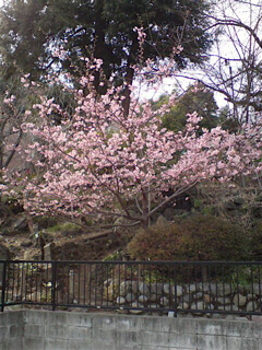 20080304桜1