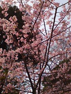20080304桜2
