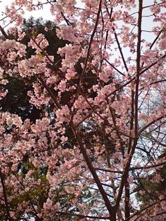 20080304桜3