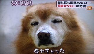 障害犬タロー7