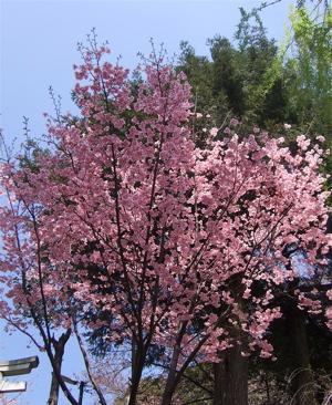 20080325桜1