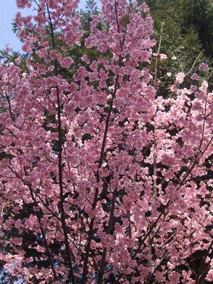 20080325桜2