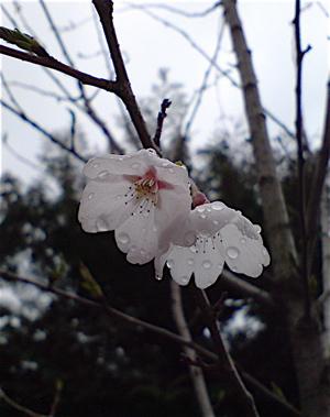 20080331桜2