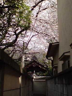 20080331桜3