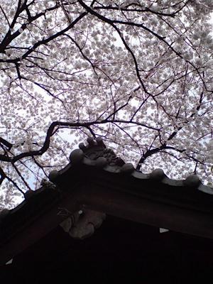 20080331桜4