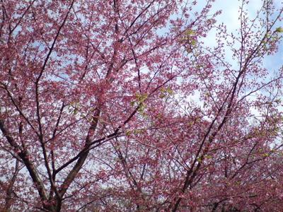 20080331桜6