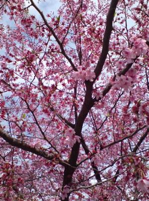 20080331桜7
