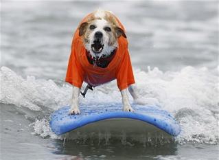 20080907イヌのサーフィン大会(カリフォルニア)