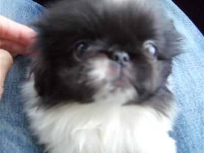 20080927ペキニーズ姉妹、hundehutteはレッツゴー!2