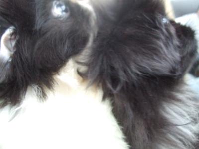 20080927ペキニーズ姉妹、hundehutteはレッツゴー!6