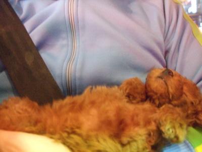 20081120トイ・プードルのレッドちゃん、お店にやってきました♪4