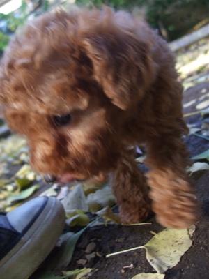 20081129ビションちゃん&レッドちゃん、落ち葉の中を4