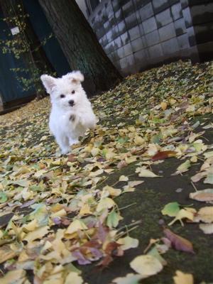 20081129ビションちゃん&レッドちゃん、落ち葉の中を5