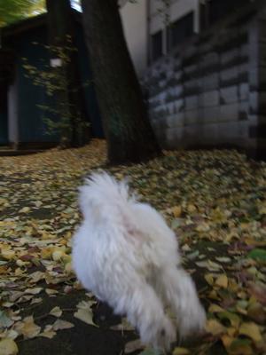 20081129ビションちゃん&レッドちゃん、落ち葉の中を6