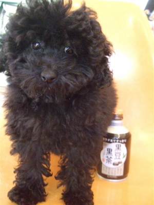 20090315黒豆黒茶黒プードル1