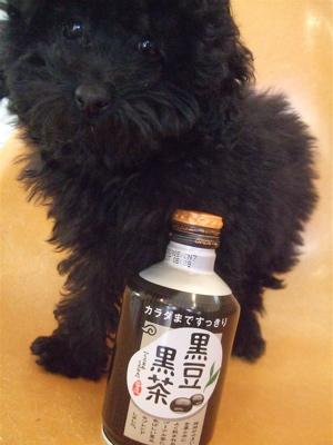 20090315黒豆黒茶黒プードル2