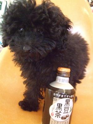 20090315黒豆黒茶黒プードル4