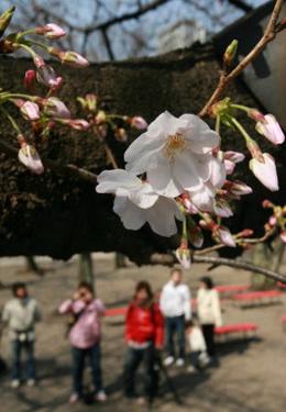 20090321桜 東京で開花 平年より1週間早く