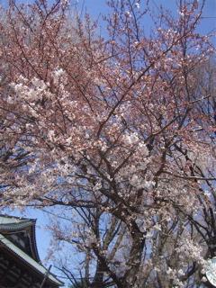 20090402桜1