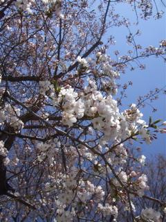 20090402桜2