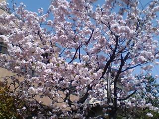 20090407桜満開