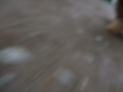 20090605トイプードルのレッドくんとビションフリーゼのおんなのこちゃん12