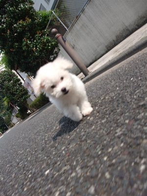 20090824 ビションフリーゼ フントヒュッテ おさんぽ 公道デビュー 2